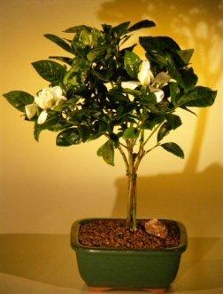 Bonsai Boyu0027s Flowering Gardenia Bonsai Tree   Medium Jasminoides Miami  Supreme