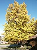 Tulip Poplar Tree, Liriodendron Tulipifera, FAST Growing LARGE tree with flowers, fall interest: Size 7 gallon