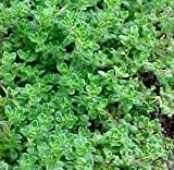 The Dirty Gardener Heirloom Common Thyme Herb Seeds - 1 Pound