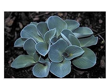 3 Hosta Blue Mouse Ears Plants Amazoncouk Garden Outdoors