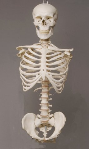 Skeleton Torso with Skull- life-size- 2nd class -