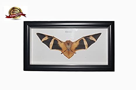 REAL Taxidermy Bat with Black Frame 12\