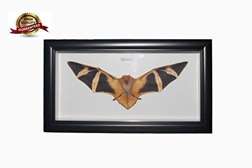 REAL Taxidermy Bat with Black Frame 12