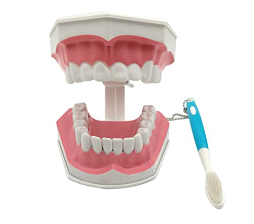 Zgood Child Teeth Model and Toothbrush with Removable Lower Teeth Teaching Model