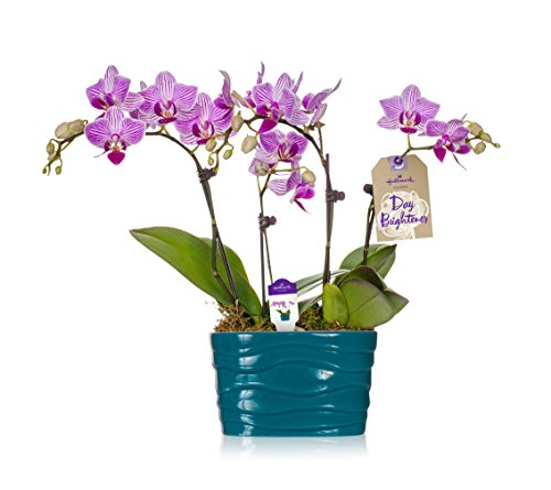 Orchid Flower Plant, From Hallmark Flowers