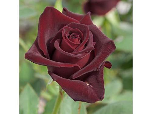 Pianta Cespuglio Rosa Nera Black Profumata 40 Cm In Zolla Pronta Da Piantare Perenne Giardino Vaso