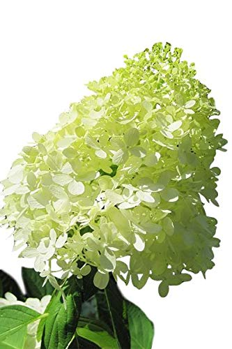Limelight Hardy Hydrangea - Proven Winners - Quart Pot