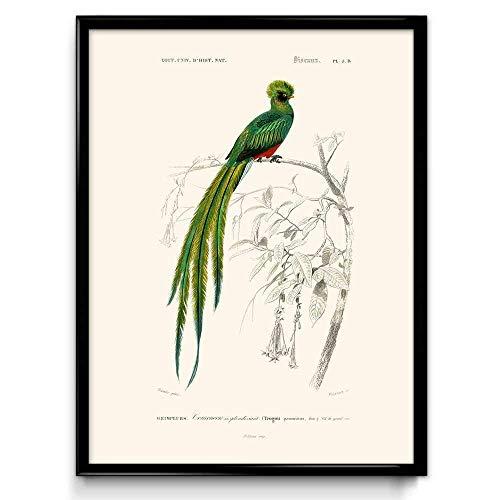 Orion Wall Decor - Quetzal Bird Vintage Print - Bird Poster - Bird Art - Bird Picture - Bird Illustration - Home Decor - Wall Art - Orbigny - VP1037 - Simple Ivory - 12 x 16 in