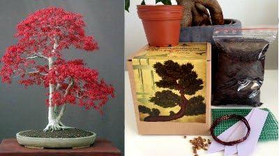 Premium Japonais érable Bonsai Kit 9 Pieces pot en céramique /& BAC-alluneed In 1 Box