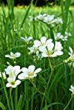 Minuartia Sandwort Flowers Journal: Take Notes, Write Down Memories in this 150 Page Lined Journal