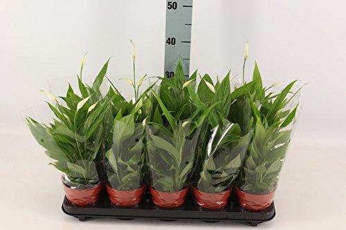 Chamaedorea Seifrizii 110 120 Cm Bambuspalme Zimmerpflanze Blumen Senf