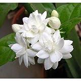 5 Arabian Tea Jasmine Seeds Rare Tropical Fragrant Flower While Perennial Bloom