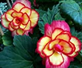 Passion Party Begonia Seed Pack