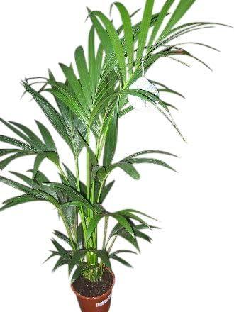 Planta de interior - Planta para la casa o la oficina - Howea forsteriana Palmera Kentia - Palma del paraíso - 1, 8 metros: Amazon.es: Jardín