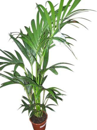 Zimmerpflanze Fur Wohnraum Oder Buro Howea Forsteriana Kentia