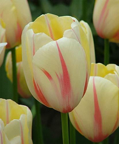 Yunakesa Tulip Camargue Bulbs-Spring Blooming Tulips, Fall Planting Bulb, Now Shipping ! (25 Bulbs) by yunakesa