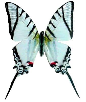 Zebra Swallowtail Butterfly - 5