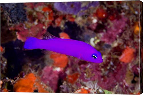 Dottyback Fish - Magenta dottyback Fish by Jaynes Gallery/Danita Delimont Canvas Art Wall Picture, Gallery Wrap, 18 x 12 inches