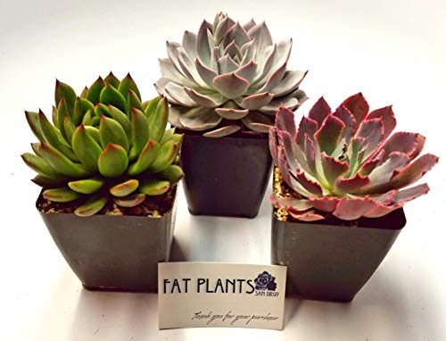 Fat Plants San Diego Large Rosette Succulent Plant Collection in Plastic Growers Pots by Fat Plants San Diego (Image #2)