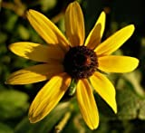 Black-Eyed Susan - 1,000 Seeds (Rudbeckia hirta) Put a kiss of sunshine in your garden!