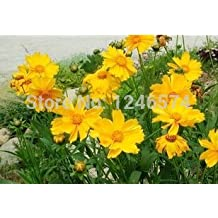 Coreopsis seed, double Coreopsis, indoor potted flower seeds-Coreopsis drummondii, about 30 particles