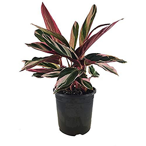 AMERICAN PLANT EXCHANGE Tricolor Stromanthe Easy-to-Grow Live Prayer Plant, 1 Gallon, Indoor Air Purifier! by AMERICAN PLANT EXCHANGE (Image #5)