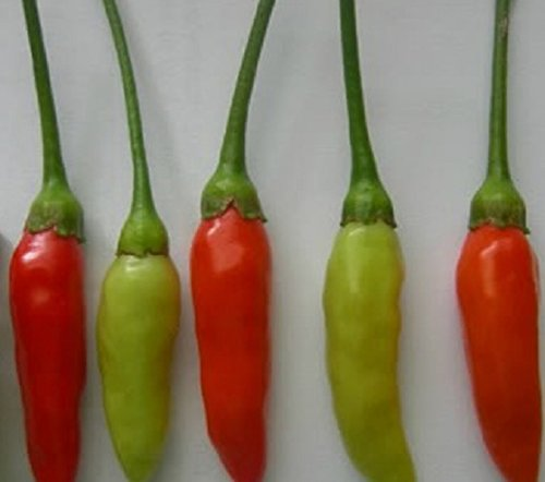 - 10 Guam Boonie Pepper Seeds (Capsicum Frutescens) Heirloom From the Island of Guam, Organically Grown and Hand Harvest !