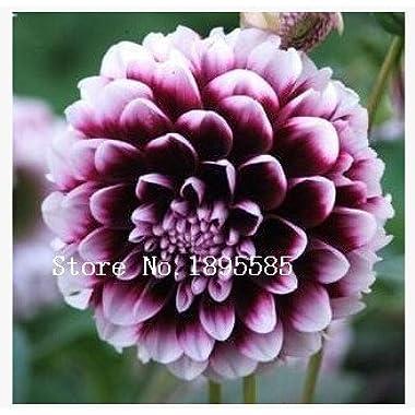 Type ordinally yukako dahlia bulbs seeds bonsai flowers - 100 pcs seeds