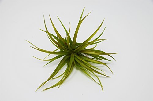 Air Plant Brachycaulos - Huge Plant - 5-6 Inches Large! - Live House Plant