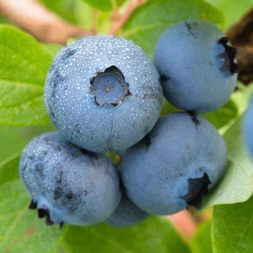 Brightwell Blueberry Bush - Hardy Perennial