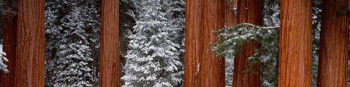 Walls 360 Peel & Stick Wall Murals: Sequoia and Pine Trees Sequoia National Park (84 in x 21 in)