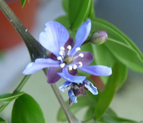 Lignum Vitae Tree - 6