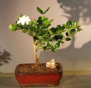 Plum Bonsai - 5
