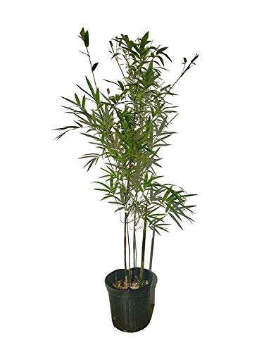 Graceful Bamboo - Slender Weavers - Textilis Gracilis - Live Plant - Fast Growing Evergreen Privacy Hedge by Florida Foliage (Image #9)