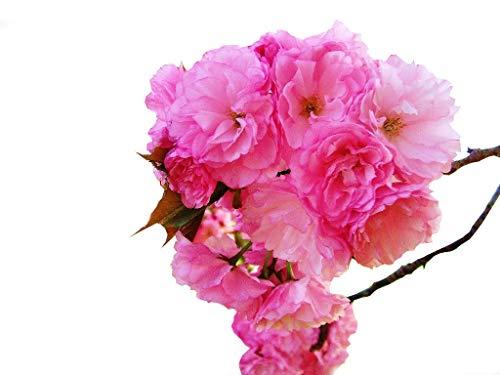 (Kwanzan Cherry Tree - Kanzan - Sekiyama Established Roots - Established Roots 2.5