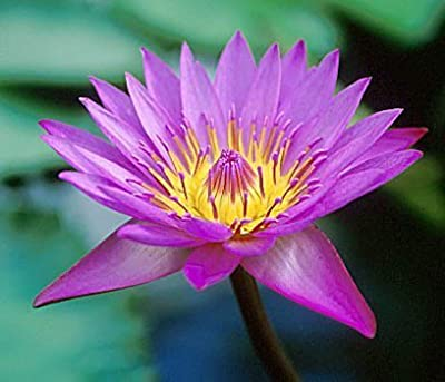 10 PURPLE LOTUS Water Lily Pad Nymphaea Sp Pond Flower SeedsComb S/H by Seedville