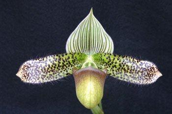 Jump Start Sale: 3 different orchids grower's choice by The Orchid Gallery