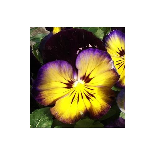 Midnight Glow Pansy Seed Pack