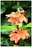 SOPHISTICATE 100PCS High-Grade Flower Seeds Garden Crossandra Infundibuliformis Seed Bonsai Balcony Pot Most Beautiful Not Flower Bulbs: 4