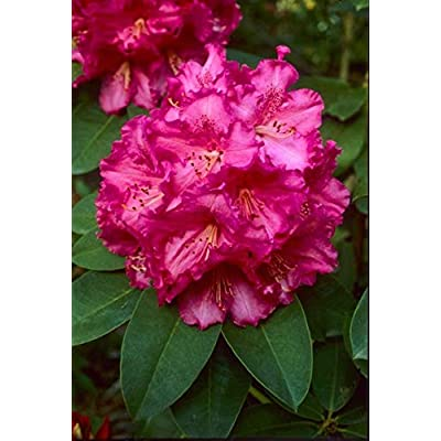 """Rhododendron Very Berry - Funnel Shaped Rose Red Bloom with Darker Blotches- Grows Six Feet Tall (12"""" to 15"""" Wide Plant – Typically Three Gallon) : Garden & Outdoor"""