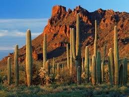 Live Saguaro Cactus Medium - Carnegiea Gigantea by Living Cactus by Valley Verde (Image #5)