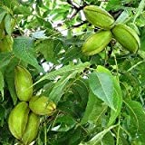 Hardy Pecan Trees CARYA ILLINOINE SIS-1 1/2 yr Old Bare Root-Nut Tree-Fruit Trees 2 PK