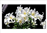 White Madonna Lily Bulbs Bulbs [not Lily Seed] Home Garden Seeds - 4 Bulbs
