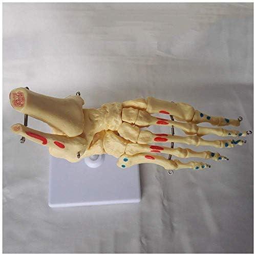 Educatieve poppen Voet- en enkelskelet Model Levensgroot menselijk voet Gewrichtsmodel met spierkleuring Anatomisch model van menselijk gewricht