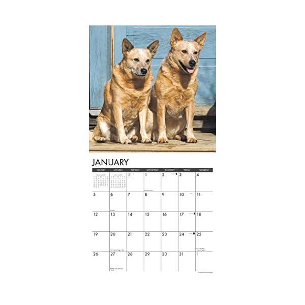 Just Australian Cattle Dogs 2020 Wall Calendar (Dog Breed Calendar) 2