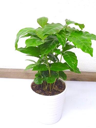 2 Stück Coffea arabica 28cm+/- Kaffee Pflanze Kaffeestrauch Zimmerpflanze