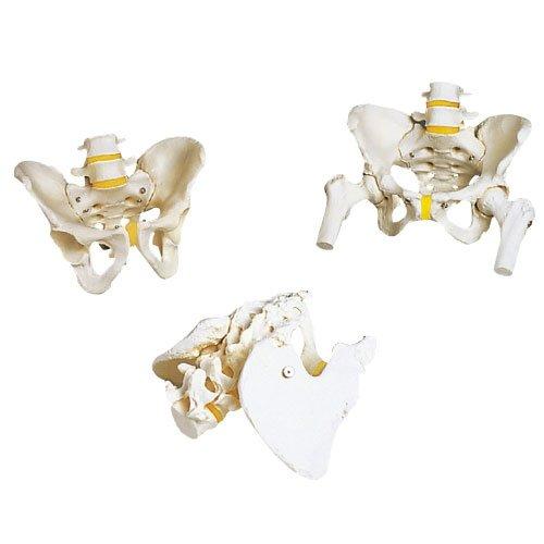 骨盤モデル(男性) A60 (18X28X23cm)   B010AOI8F4