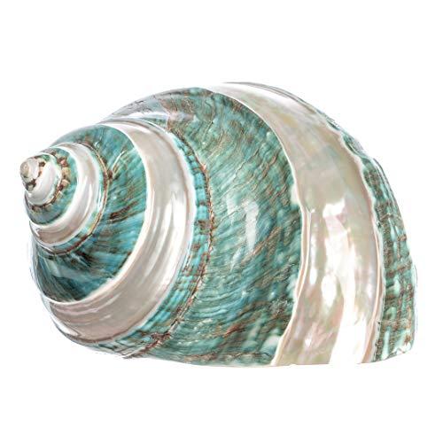 (Hermit Crab Home Turbo Shell   1 Turbo Shell 4-4.5