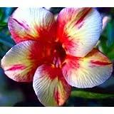 Wüstenrose (Adenium obesum) 5 Samen Pink Diamond