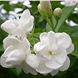 20seeds/bag Jasmine seed indoor plants perennial flower seeds
